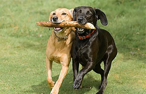 Above & Beyond Dog Training & Rehabilitation Dogs Exercised Dog Boarding