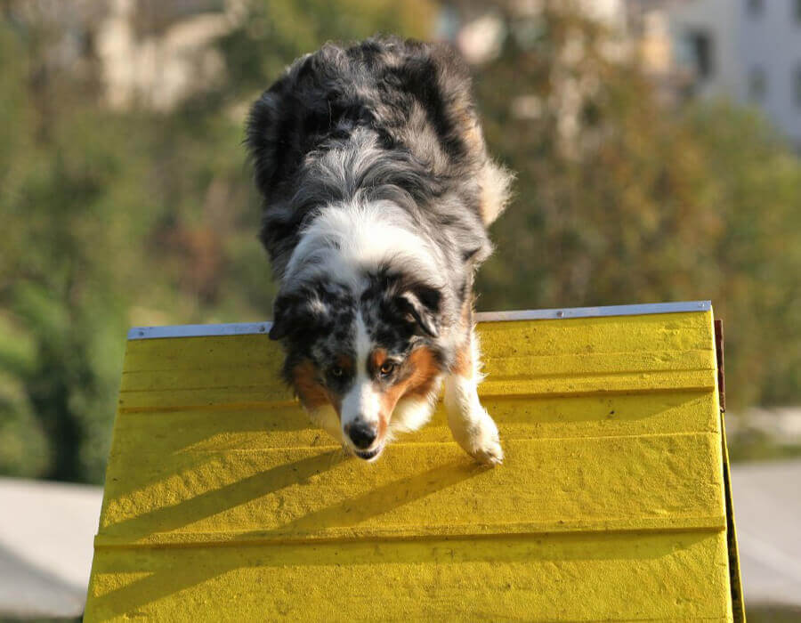 Above & Beyond Dog Training & Rehabilitation Dog Agility Training Gold Coast