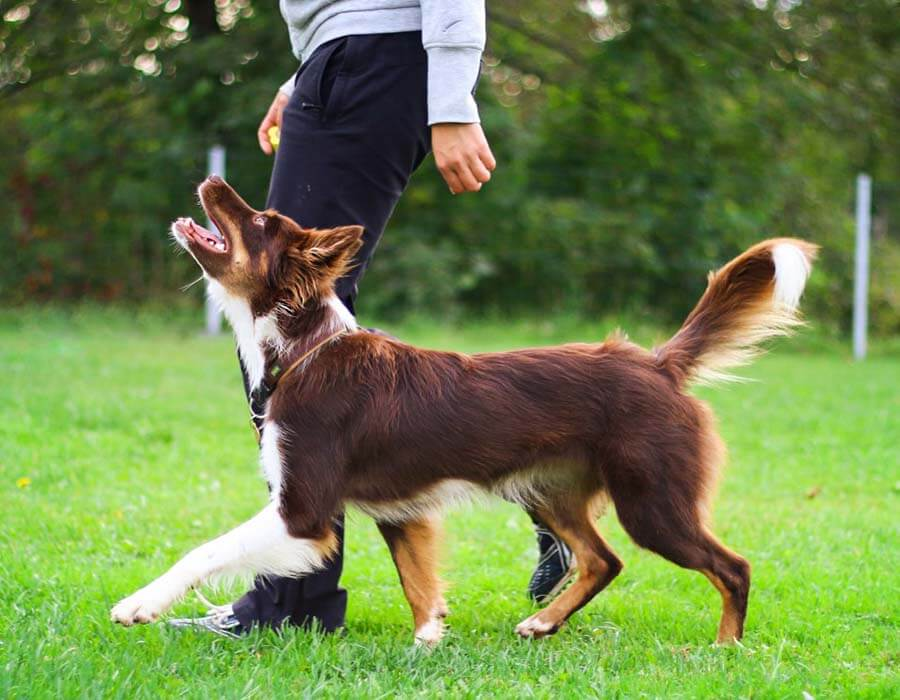 Above & Beyond Dog Training & Rehabilitation Leash & Walking Techniques Brisbane Gold Coast
